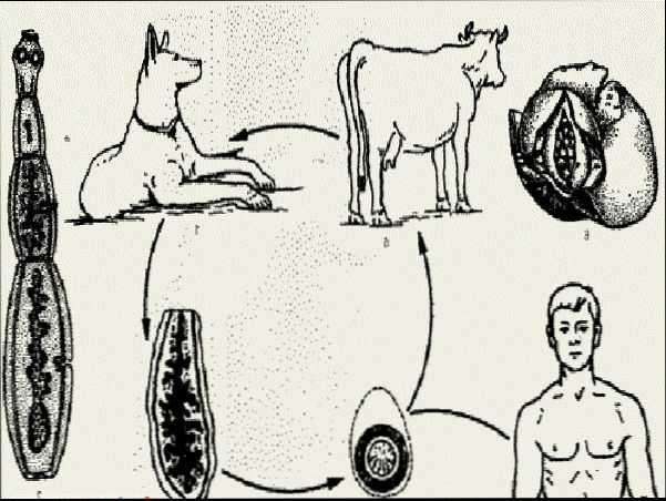Процесс попадания личинок в человека